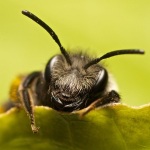 A bee catches up on its sleep after an exhausting time socializing in the hive. Image Courtesy of Discover Magazine.