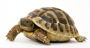 Researchers at the University of Belgrade studied 118 Hermann's tortoises and found a correlation between shell geometry and tortoises' ability to right themselves after flipping over. Image courtesy of Warren Photographic.