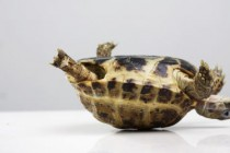 Turned Tortoise: Shell geometry helps tortoises get back on their feet