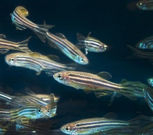 Due to their rapid development cycles, zebrafish were ideal animal models for Nicoli's research. Image courtesy of Lynn Ketchum.