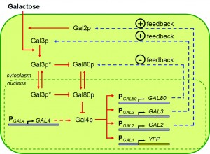 The galactose utilization network contains four regulatory promoters: GAL2, GAL3, GAL4, and GAL80. Each controls the expression of downstream genes, and together they determine the activity level of the whole network. GAL80 controls a negative feedback loop. Image courtesy of Murat Acar.