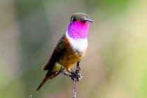 New Species of Hummingbird Discovered in the Bahamas