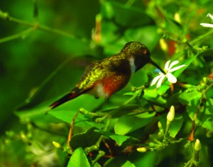 Until recently, scientists believed that C. lyrura and C. evelynae both belonged to one species of hummingbird. Research from Teresa Feo's lab corrects this misconception. Image courtesy of New Jersey Birds.