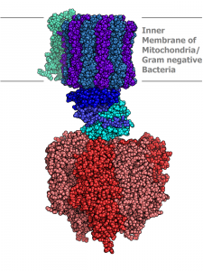 In nature, intricate proteins form by self-assembly. This includes the nanomachines that harness energy for cells. (Image Courtesy of Wikipedia)