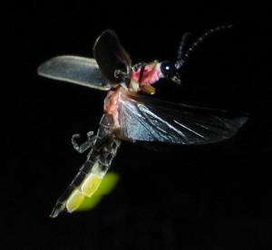 Fireflies are only one of the bioluminescent species that you may have encountered in your daily life. Image courtesy of Wikimedia Commons.