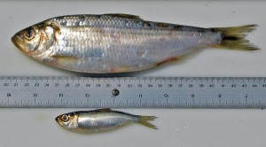 Anadromous and landlocked alewives show differences in both morphology and habitat. Image courtesy of David Post.