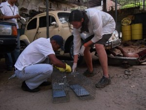 Rats often transmit leptospirosis to humans in urban slums. Here, Yale researchers and members of the Brazilian Ministry of Health work to capture infected rats. Image courtesy of Albert Ko.