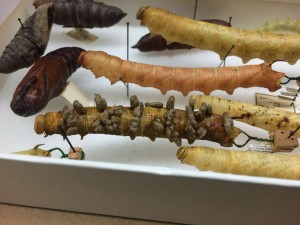 A specimen of a parasitized caterpillar as the wasp pupae make their exit is preserved with the wasp cocoons forming on its skin. Image courtesy of the Peabody Museum of Natural History