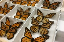 The Bugs and the Bees: How viruses bridged the gap between bees and butterflies