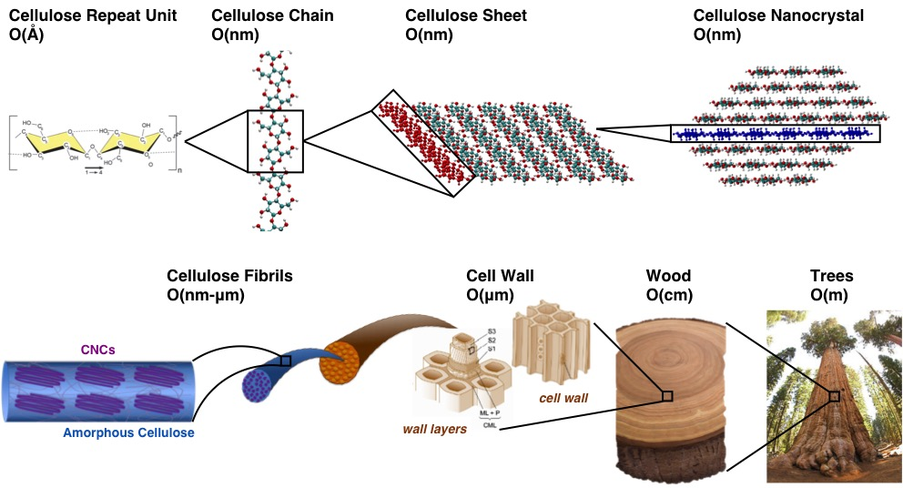 Biodegradable And Bulletproof  Modeling Cellulose