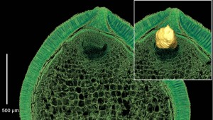 Tiny embryos promote seed dormancy because they cannot germinate very rapidly in fleetingly suitable conditions. Images Courtesy of Else Marie Friis and Peter Crane, Yale School of Forestry & Environmental Studies.