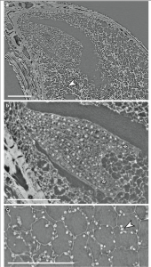 The tissue around the embryo contains proteins and other nutrients necessary for development. Images Courtesy of Else Marie Friis and Peter Crane, Yale School of Forestry & Environmental Studies.