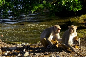 The psychologists used rhesus macaques as an animal model. The literature supports that a human brain is similar in terms of structures and functions, and scientists could record from individual neurons in the monkey brain. Image courtesy of Steve Chang