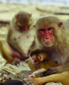 The rhesus macaque is a highly social creature. These monkeys live in groups, exhibit nurturing behavior, and use social status to procure scarce resources in the environment. Image courtesy of Steve Chang