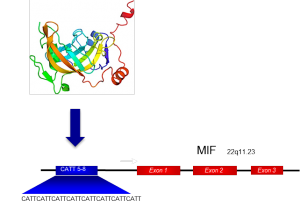 The transcription factor ICBP90 binds to the MIF CATT promoter polymorphism, and upregulates the transcription and subsequent protein expression of MIF.
