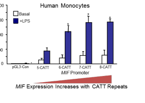 MIF gene transcription increases with a higher number of CATT promoter repeats. The number of repeats ranges from five to eight within the human population. More than five repeats leads to high MIF expression levels, and even disease.