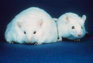 Rats provided with high-calorie human foods will eat more than they would if only provided with rat chow and quickly become obese. Image courtesy of the Human Genome Wall for SC99
