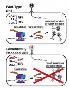 Viruses are unable to translate their proteins properly in genomically recoded cells. Image courtesy of Dr. Natalie Ma and Dr. Farren Isaacs.