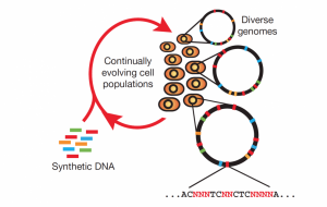 Targeting multiple sites on cellular chromosomes has been made possible by multiplex automated genome engineering (MAGE). MAGE works by introducing single-stranded DNA (ssDNA) to the host cell that mimics Okazaki fragments. The ssDNA is then integrated into the host cell's genome during replication. Image courtesy of the Isaacs Lab.