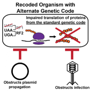 Plasmid propagation and viral infection is obstructed in recoded organisms with alternate genetic code. Image courtesy of Dr. Natalie Ma and Dr. Farren Isaacs.