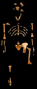Lucy is the most complete early human specimen ever found. Image courtesy of Creative Commons.
