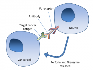 In current antibody-based therapeutics, antibodies bound to immune cells directly target cancer cells. Image courtesy of Wikipedia.