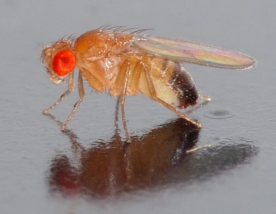 Fruit Flies Generate Buzz in Oncology Research