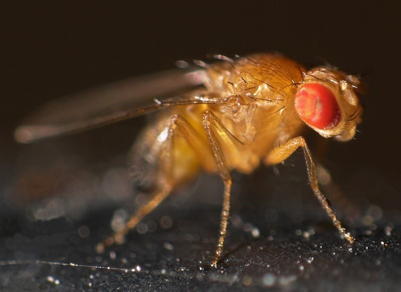 Can't Sleep? Neither do Flies