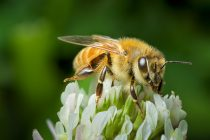Q&A: What's killing our honeybees?