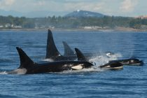 Q&A: Why Do Killer Whales Go Through Menopause?
