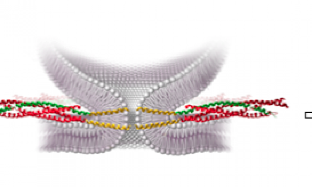 SNAREs: Optimizing Membrane Fusion Understanding the importance of fusion activation energy