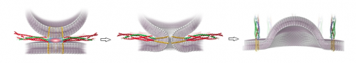 This image shows a SNARE protein assisting in the process of membrane fusion. SNAREs are essential to membrane fusion as they bring the requisite energy needed to lower the activation energy of the reaction and allow the biological event to be carried out in a much smaller timescale. Image courtesy of Dr. Frederic Pincet.