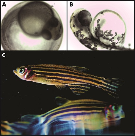 1) The model organism zebrafish (Danio rerio) develops in an egg (A), hatches (B), and continues to mature into the adult fish (C). Images modified from Nikita Tsyba, Wikimedia Commons (A,B) and Uri Manor, NICHD, Flickr (C).
