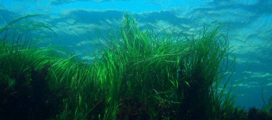 Plants Protecting Against Pathogens: Seagrass Meadows Clean the Waters Near Coral Reefs