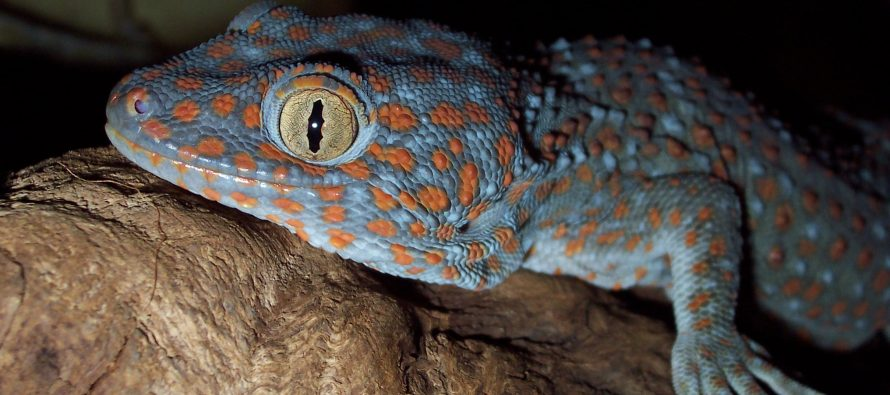 A Gecko Opera: Reptile Vocal Plasticity and the Lombard Effect