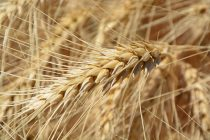 How was Wheat Domesticated?