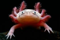 Infinite Healing: A new method to study regeneration in axolotls