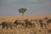Seasons on the Savanna: How Seasonal Diet Changes Impact Population Sizes of Savanna Herbivores