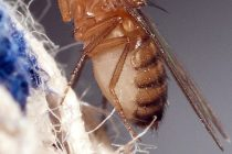 Triple Threat: Three-Drug Combination Increases Fruit Fly Lifespan by 50%