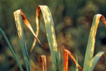 Blasting Off: Researchers Discover a Pressure Sensor in Rice Blast Fungus